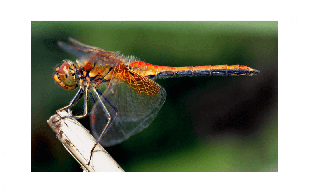 Six Plants That Attract Dragonflies for Mosquito Control